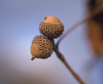 Oak_chin_seed_sm